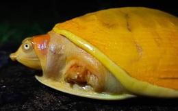 Kỳ lạ rùa bạch tạng vàng rực rỡ hiếm có ở Ấn Độ