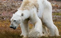Tin cực xấu: Thời điểm gấu trắng Bắc Cực có thể tuyệt chủng hoàn toàn đã được xác định, và nó gần hơn chúng ta tưởng rất nhiều