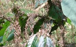 Ứng phó đàn châu chấu gây hại ở Điện Biên