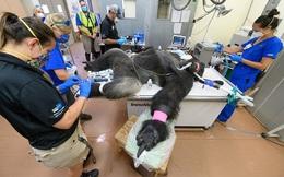 Hy hữu: Khỉ đột khổng lồ được chữa bệnh và làm cả xét nghiệm Covid-19