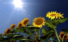 24h qua ảnh: Hoa hướng dương nở rực rỡ dưới ánh mặt trời ở Đức