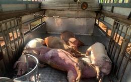 Thương lái xin lợn chết của người dân về xẻ thịt lợn bán kiếm lời