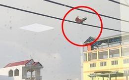 Hình ảnh gà trống trên dây điện khiến tất cả hoang mang: Lên đấy bằng cách nào?