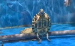 """Kinh ngạc cảnh đại ca rùa """"ngồi"""" cực ngầu, thản nhiên nhìn đàn em bơi lội bên cạnh"""