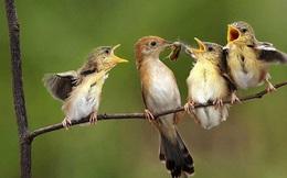 1001 thắc mắc: Chim sẻ ăn hạt, vì sao nuôi con bằng sâu?