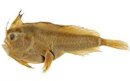 Loài cá biển đầu tiên tuyệt chủng ở thời hiện đại