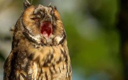 Khoảnh khắc cú con há miệng ngáp ngủ gây sốt mạng xã hội