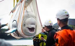 Nỗ lực phi thường trả tự do cho cặp cá voi trắng siêu hiếm: Nụ cười của chúng khiến ai cũng ấm lòng!