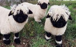 Những chú cừu trông không khác gì thú nhồi bông và nhân vật hoạt hình có thật khiến ai ai cũng muốn cưng nựng