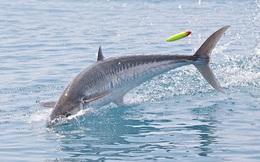 Hi hữu: Cá thu 18kg vọt khỏi mặt nước húc chết thợ câu