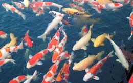 Bất chấp dịch Covid-19, nhóm trộm đột nhập bắt cá Koi trị giá 100 triệu đồng làm mồi nhậu