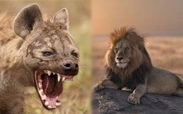 1001 thắc mắc: Sư tử và linh cẩu kẻ nào mạnh hơn?