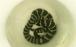Nguy hiểm người đàn ông bị rắn độc cắn khi đang ngủ