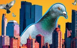 Đông đến mức không thể chịu nổi: Chim bồ câu đã 'xâm chiếm' toàn bộ các thành phố của Mỹ như thế nào?