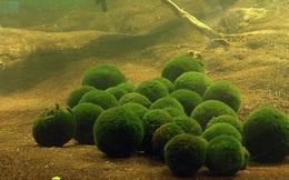 Marimo: Loài tảo cầu cực kỳ 'đáng yêu' đang dần trở thành trào lưu chăm sóc như thú cưng tại Nhật Bản