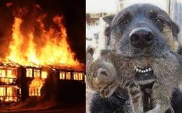 Căn nhà cháy rực, chú chó lao vào biển lửa làm một điều khiến ai cũng xúc động