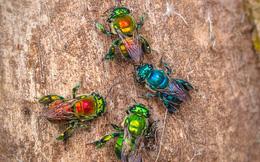 Kỳ lạ loài ong 'viên ngọc sống' không bao giờ tạo mật