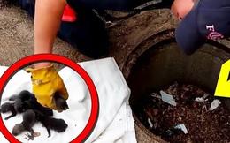Giải cứu 8 chú chó nhỏ bị mắc kẹt dưới cống nhưng khi đưa đến bác sĩ thú y, mọi người mới tá hỏa khi biết chúng không phải là chó con