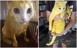 """Mèo trắng thay đổi màu lông sau bài thuốc chữa nấm của mẹ khiến cô gái """"khóc dở mếu dở"""""""