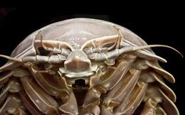 Phát hiện bọ biển khổng lồ tại Indonesia