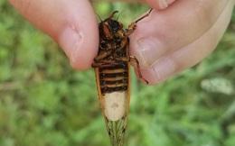 Loại ký sinh trùng kỳ lạ này có thể buộc những con ve sầu đực phải giả dạng thành ve sầu cái