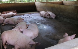 Giá thành chăn nuôi lợn hiện khoảng 50.000 - 71.000 đồng/kg