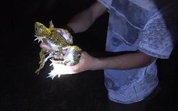 Soi ếch đầu mùa mưa