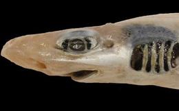 Lần đầu tiên khoa học tìm ra con cá mập 'đáng thương' nhất lịch sử: Việc nó tồn tại được đến giờ phút này hoàn toàn là nhờ may mắn