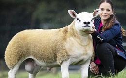 Chú cừu 6 tháng tuổi mặt hệt như cún con, phổng phao như bò tót mà có giá trị đắt hơn cả xe Ferrari và đồng hồ Rolex cộng lại