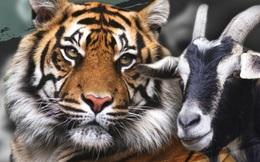 Làm con mồi dâng cho hổ, chú dê không bị ăn thịt còn trở thành bạn với kẻ thù, đi đâu cũng có nhau nhưng vẫn nhận cái kết bi đát vì... giỡn nhây