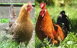 Loài gà lạ có 2 chiếc mào hình vương miện cực sang chảnh, rất quý và hiếm