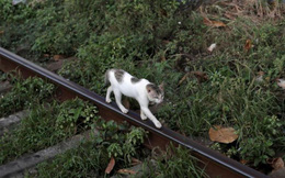 Mèo 'buôn lậu ma túy' trốn thoát khỏi nhà tù Sri Lanka