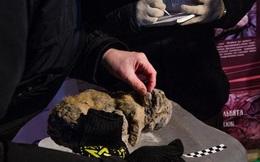 Tìm thấy xác sư tử song sinh niên đại hơn 10.000 tuổi nằm ngủ trong hang