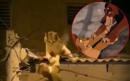 Video 2 chú mèo đánh nhau trên mái nhà vô tình cover lại cảnh phim 'Vua Sư Tử' và gây sốt với hàng triệu lượt xem