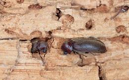 """Úc: """"Sốc"""" khi phát hiện loài côn trùng nguy hiểm từ TQ ẩn trong đồ gỗ"""