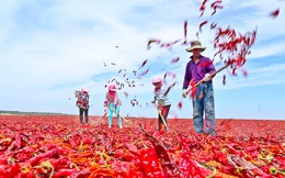 24h qua ảnh: Nông dân Trung Quốc phơi khô ớt trên cánh đồng