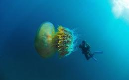 Cận cảnh về loài sứa khổng lồ dưới đại dương, là nỗi ám ảnh của ngư dân Nhật Bản