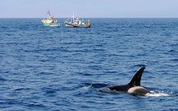 """Cá voi sát thủ """"phát điên"""", húc liên tục vào thuyền giữa tiếng kêu chói tai: Lời đe dọa gửi con người?"""