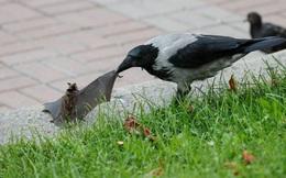 24h qua ảnh: Chim quạ tấn công dơi giữa phố ở Ukraine