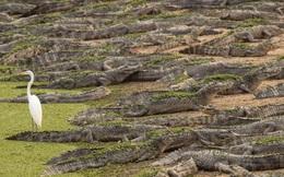 24h qua ảnh: Đàn cá sấu khổng lồ nằm nghỉ trên bờ sông ở Brazil