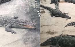 """Người đàn ông khiếu nại sở thú dùng cá sấu giả để kiếm tiền, đại diện tuyên bố """"giả 1 đền 10"""", cư dân mạng thảo luận sôi nổi"""