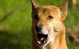 """Tưởng đã tuyệt chủng 50 năm, loài chó """"biết hát"""" bất ngờ tái xuất ở New Guinea"""
