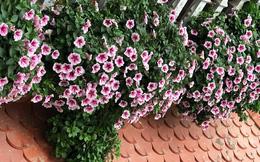 Ban công nhà bạn quanh năm sẽ rực rỡ sắc màu nhờ trồng 8 loại hoa này