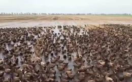 """Video: Đội quân 10.000 con vịt """"nô nức"""" ra đồng diệt ốc sên tại Thái Lan"""