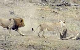 Chuyện lạ: Sư tử đực làm hành động 'đáng xấu hổ' giúp lợn bướu thoát chết ngoạn mục