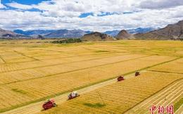 """Những hình ảnh tuyệt đẹp của """"vựa lúa Tây Tạng"""" trong mùa thu hoạch"""
