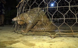 Bất ngờ thấy tê tê quý hiếm nặng 10kg bò ở trước cổng nhà, nhiều người cùng nhau vây bắt