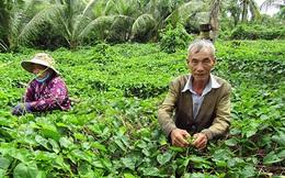 """""""Trồng chơi, ăn thật"""", đôi vợ chồng thoát nghèo nhờ loại cây đem lại nửa triệu đồng mỗi ngày"""