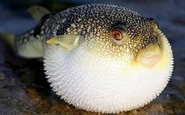 Đà Nẵng sẽ chế biến xuất khẩu loại cá chứa độc tố cao