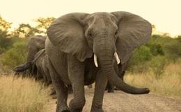 1001 thắc mắc: Loài voi có ngáp như con người?